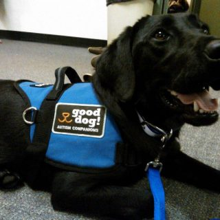 Gus is a trained Autism Service Dog