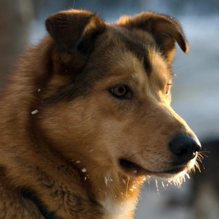 Noble Paws Sled Dogs